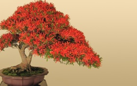 Обои дерево, красное, бонсай, горшок, листочки