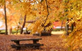 Обои осень, клен, желтые, лавочка, листья, скамейка, парк