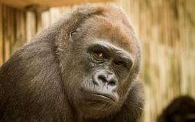 Обои природа, Gorilla, взгляд