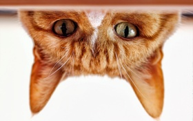Обои кошка, глаза, кот, взгляд, мордочка, уши, рыжий кот
