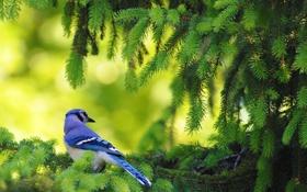 Картинка природа, птица, ель, ветка