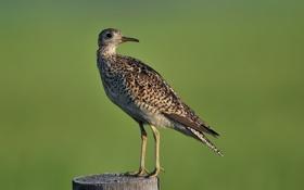 Обои птица, пень, столб, длиннохвостый, upland sandpiper, песочник