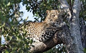 Картинка дерево, хищник, леопард