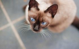 Обои кот, кошка, глаза, голубые, шерсть