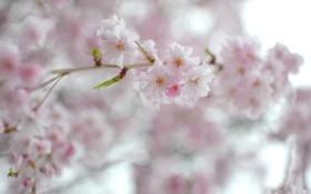 Обои цветы, весна, сакура, ветвь