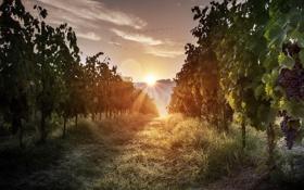 Обои трава, восход, виноградник, grass, sunrise, morning light, vineyard