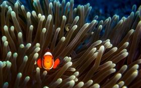 Обои водой, рыба, под, клоун, немо, водорсли