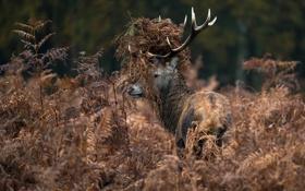 Картинка трава, олень, рога, сухая