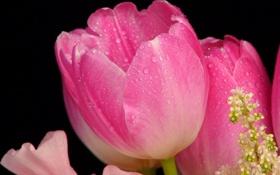 Обои капли, цветы, роса, тюльпан, лепестки