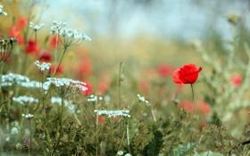 Картинка поле, лето, цветы, тепло, поляна, мак, растения