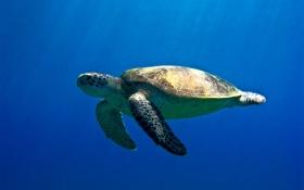 Обои море, черепаха, египет