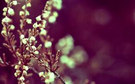 Обои цветы, природа, flowers, вереск, heather in nature