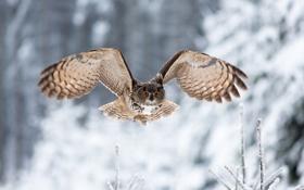 Обои зима, взгляд, сова, птица, крылья, полёт