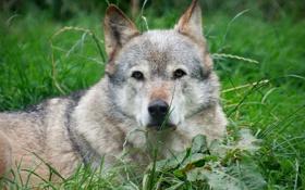Картинка трава, отдых, волк, лежа
