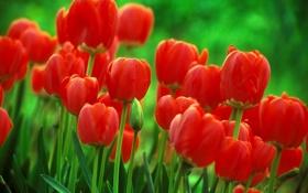 Картинка макро, цветы, фон, тюльпаны