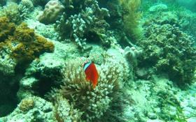 Обои рыбы, кораллы, подводный мир, Nikon E5600, pamilacan under water