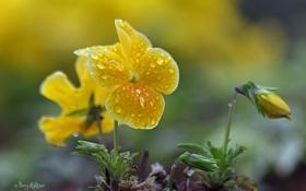 Обои макро, цветы, желтые, виола