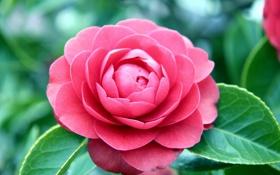 Обои цветок, макро, розовая, камелия