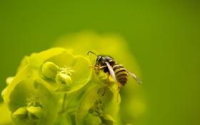 Картинка цветок, пчела, макро