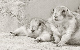 Картинка чёрно-белая, парочка, грызуны, луговые собачки