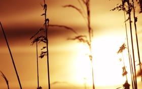 Обои трава, солнце, закат, стебли, силуэт