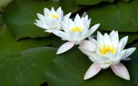 Картинка лилии, три, белые