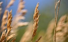 Картинка поле, макро, фото, ветер, обои, растения, колоски