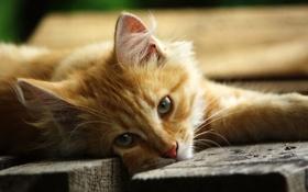 Картинка кошка, лежит, рыжая, смотрит