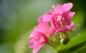 Обои розовый, цветок, соцветие, зелень, макро
