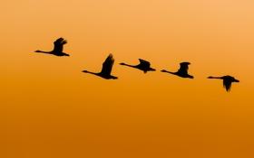 Обои утки, солнечный, полет, крылья, живая природа, оранжевое небо