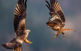 Обои flight, feathers, eagles