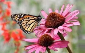 Картинка макро, цветы, бабочка, Эхинацея
