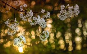Картинка свет, цветы, ветки, вишня, дерево, цвет, весна
