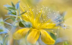Обои цветок, жёлтый, боке