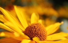 Обои цветок, лепестки, жёлтый, размытость