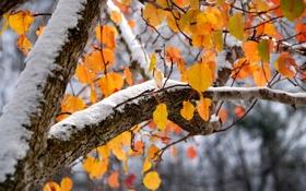 Картинка осень, листья, снег, фон, дерево, ветка, лежит