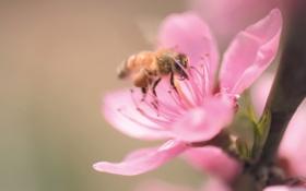 Картинка цветок, макро, пчела, розовый, ветка, лепестки, сакура