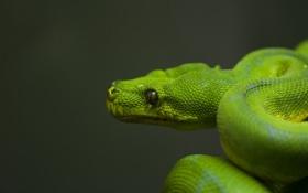 Обои зеленый, змея, голова, чешуя