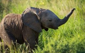 Обои природа, фон, слон