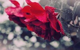Обои листья, капли, макро, цветы, роза, красота, красная