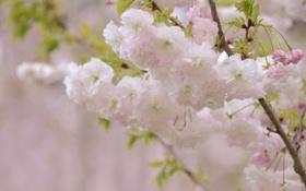 Обои вишня, ветка, цветение
