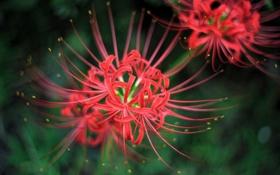 Обои макро, цветы, лепестки, красные, пестики, ЛУКОРИС РАДИАТА