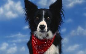 Обои небо, Собака, красиво, повязка
