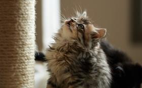 Картинка кот, котенок, пушистый, смотрит