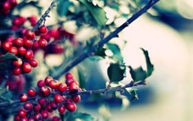 Обои ветки, фото, яркость, размытость, цвета, ягоды, листья