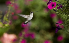 Обои петуния, птица, цветы, колибри, фокус