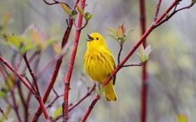 Обои птица, птичка, ветки, желтая