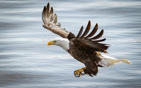 Картинка полет, птица, крылья, хищник, белоголовый орлан