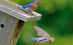 Обои полет, птицы, цвет, клюв, насекомое, скворечник, домик