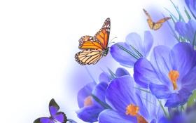 Обои бабочки, цветы, крокусы, flowers, spring, purple, crocus